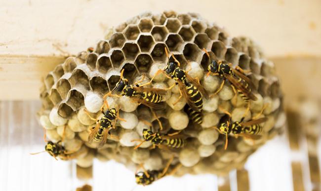 nido vespe a